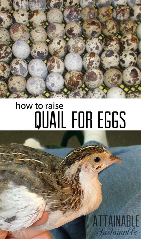 Backyard Chickens Quail Best 25 Raising Quail Ideas On Quail Quails
