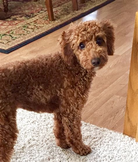 goldendoodle puppy wi goldendoodle puppies for sale in wisconsin
