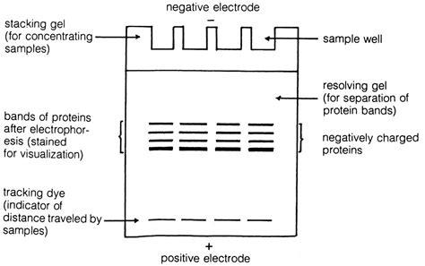 diagram of electrophoresis pics for gt electrophoresis diagram