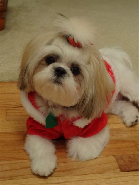 cute cuts for shih tzus our shih tzu in her christmas outfit our shih tzu baily