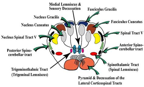 Transverse Section Of Medulla Oblongata by L6 Pons At Uc Riverside School Of Medicine Studyblue