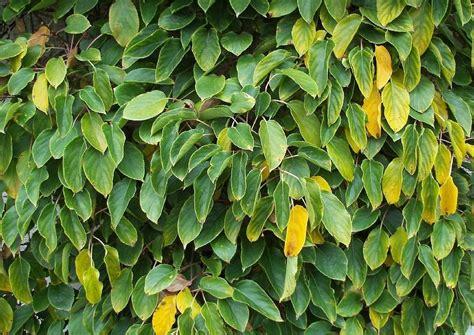 Actinida Arguta Gelber Strahlengriffel Kletterpflanzen