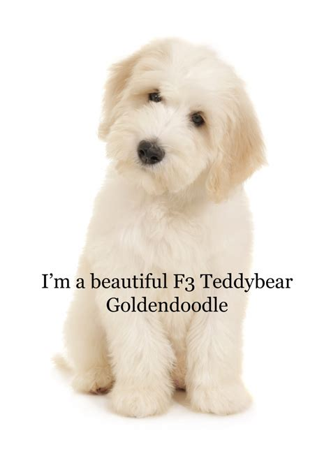f1b more golden retriever f1b goldendoodle and golden retriever hairstylegalleries