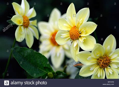 dahlia clair de lune collerette type variety hybrid yellow color stock photo royalty free image