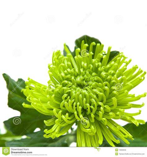 bloemen kalken de groene chrysant van de kalk stock afbeelding