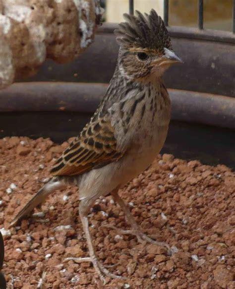 Harga Pakan Burung Branjangan mengenal burung branjangan ekicau