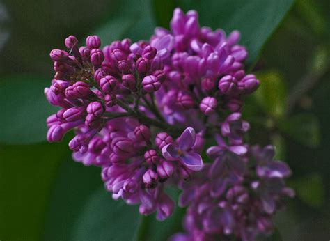lilac flower meaning syringa vulgaris lilac flower pictures meanings