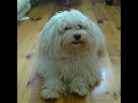 havanese dogs 101 breed images havanese information breeds picture
