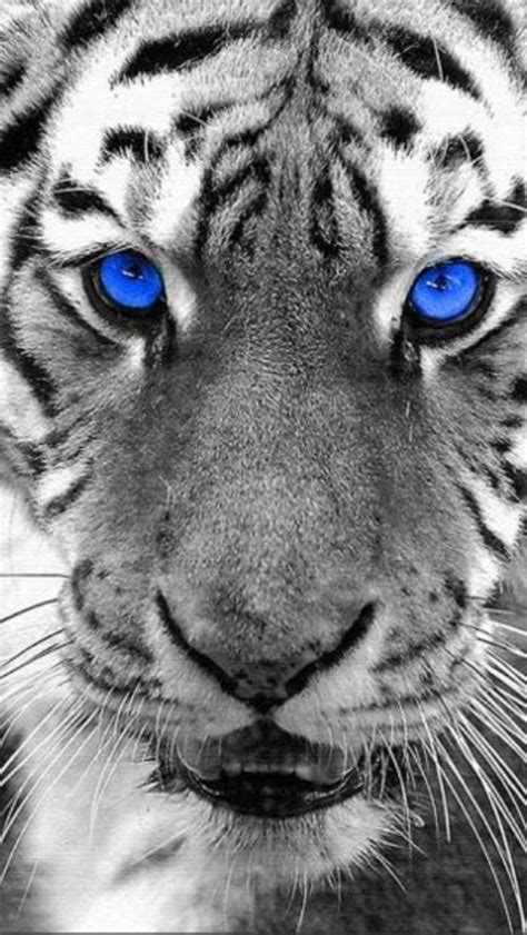 Blue Tiger white tiger blue www pixshark images