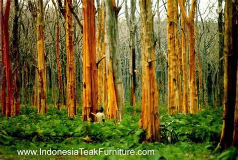 teak plantation java indonesia