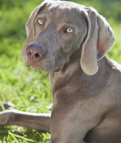 breed weimaraner 128 best images about weimaraner breed on the contest blue