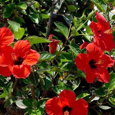 buy hibiscus red plant   nursery