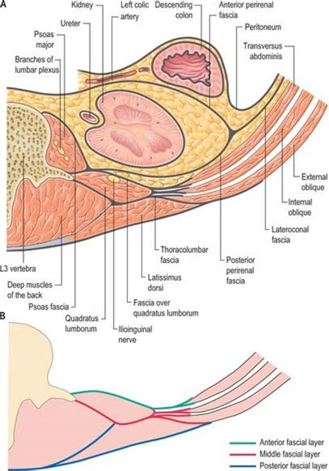 transverse section of skin posterior abdominal wall and retroperitoneum