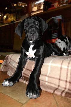 service dogs ma 1000 images about service project on service dogs great danes and