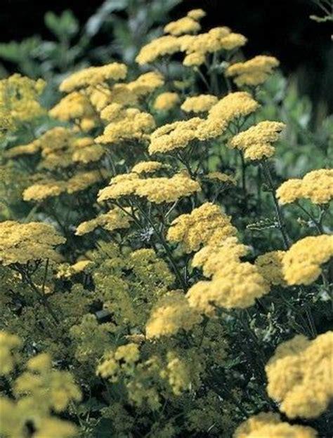10ml yarrow chamazulene blue achillea achillea taygetea yarrow plant with blue mauve