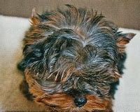 different yorkie colors yorkie colors types of terrier coats yorkie