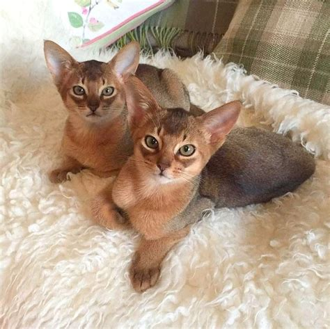 abyssinian kittens for sale 25 best ideas about abyssinian kittens for sale on