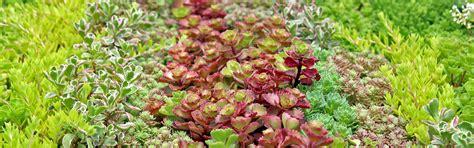 Mountain Crest Gardens by Sedum Stonecrop For Sale Mountain Crest Gardens