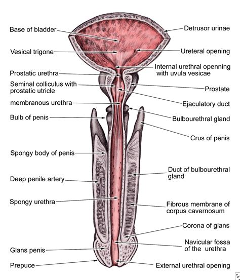 diagram of bladder and urinary tract diagram anatomy system