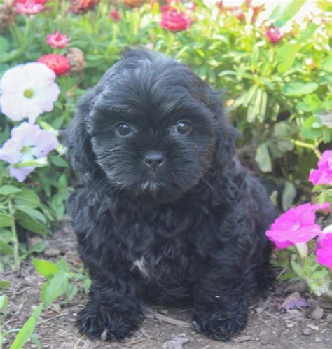 shih tzu puppies kansas city shih tzu mix puppies craigspets