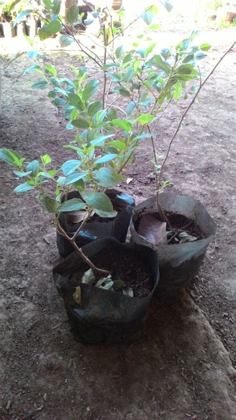 Bibit Pohon Bidara Sidr Arab jual bibit bidara arab sidr lapak jualan