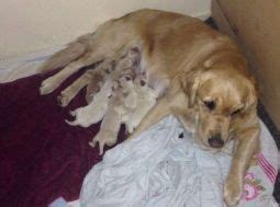 golden retriever canberra golden retriever breeders links and breed information on pups4sale au