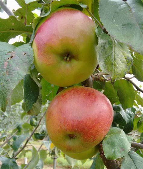 fruit trees for sale kent apple trees and fruit trees for sale buy at competitive