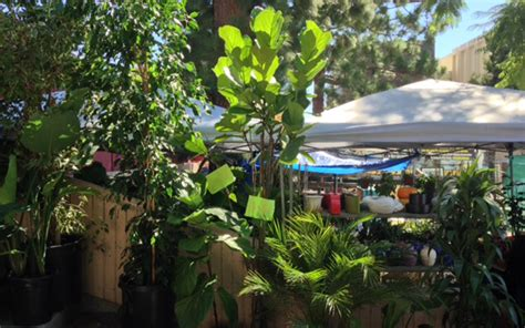 Fig Sw 52634 09 the best shops in l a to find a fiddle leaf fig tree los angeles magazine