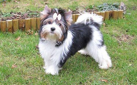 german yorkie puppies for sale german import biewer terrier for sale birmingham west midlands pets4homes