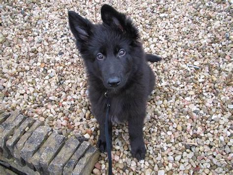 black german shepard puppy the german shepherd puppy the puppies and kittens