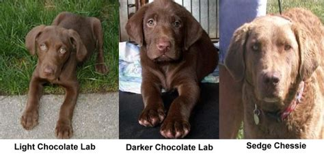 colors of labs labrador colors