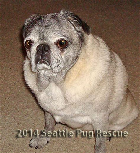 pug rescue seattle seattle pug rescue rainbow bridge breeds picture