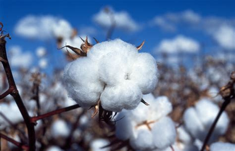 good cotton benefits of choosing organic cotton products inforithm