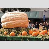 Pumpkins Growing   1000 x 667 jpeg 178kB
