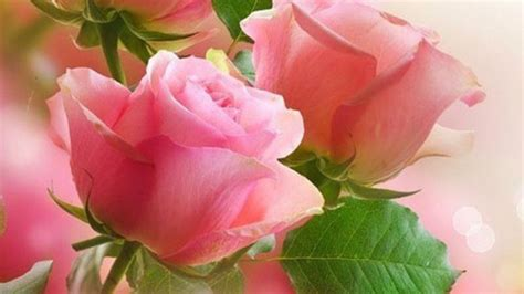 pink roses wallpaper  background image  id