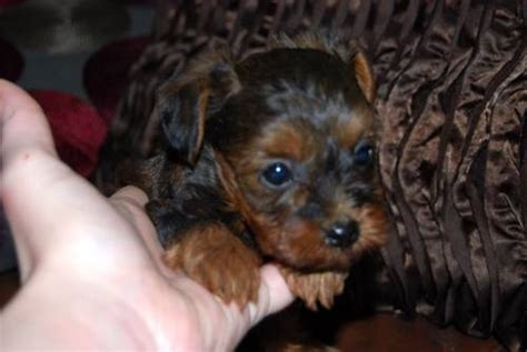 tiny yorkie poos 17 best images about yorkie poos on high tops jordans and tea cups