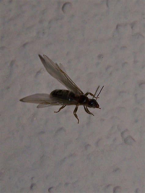 formiche volanti formiche alate forse lasius o formica forum natura