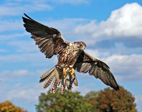 Britzer Garten Greifvogel by Turmfalken Weibchen Im Fluge Foto Bild Tiere Zoo