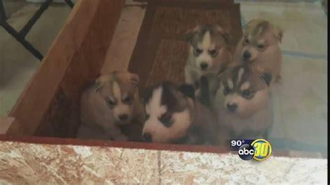 husky puppies stolen  madera county woman