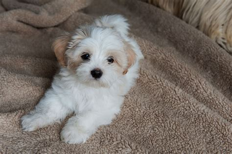 lhasa apso puppies for sale lovely lhasa apso boy for sale bournemouth dorset pets4homes