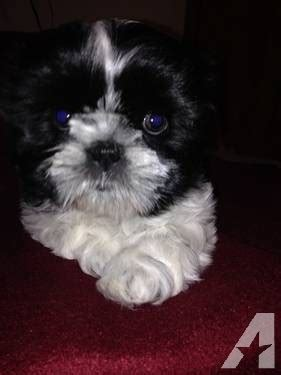 shih tzu puppies for sale in charleston sc home pleasant pups breeds picture