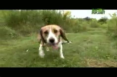 dogs 101 beagle dogs 101 beagle