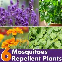 6 plants that repel mosquitoes diy this that pinterest