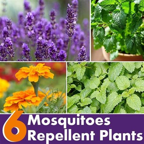 what plants keep mosquitoes away 6 plants that repel mosquitoes diy this that pinterest