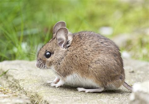 Picture Of A Mouse free stock photo of animal apodemus sylvaticus brown