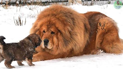 most expensive breeds the most expensive breed to own fallinpets