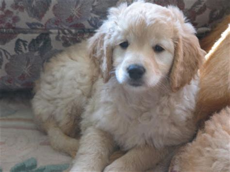 goldendoodle puppy progression daisey s doodles seattle f1 doodle puppy pics