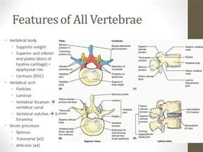 Features Of The Vertebral Column Ppt