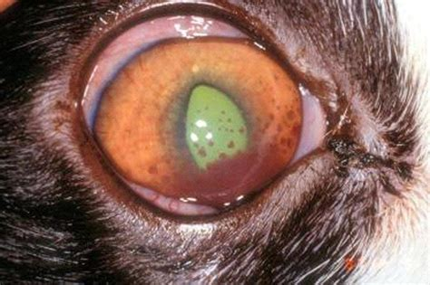 uveitis in dogs sam 4 at western of health sciences studyblue
