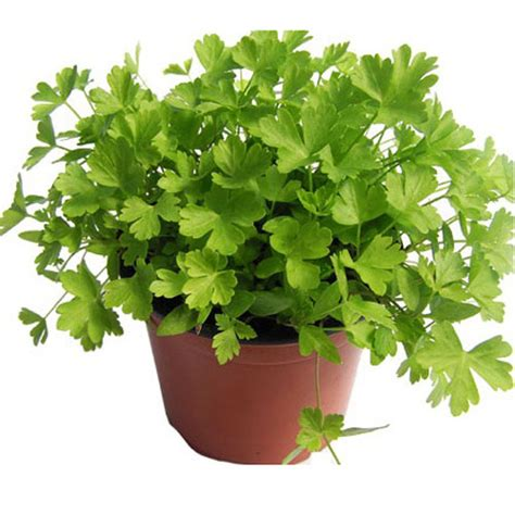 Benih Biji Bibit Parsley Giants Of Italy daun parsley flat bungahias net